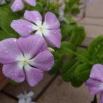 教会玄関に咲く花